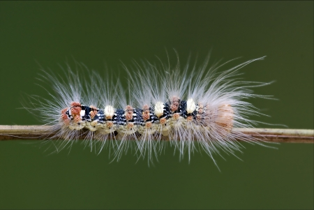 wild hairy caterpillar on a brown branch in the bush photo