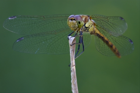 libellulidae: front of wild black yellow dragonfly on a wood branch  in the bush