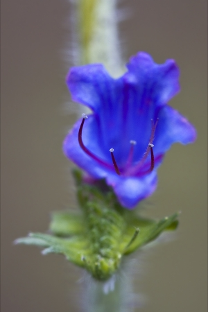 prunella: violet flower Prunella Vulgaris labiate  Prunella grandiflora glechoma hederacea  glechoma hirsuta in the brown