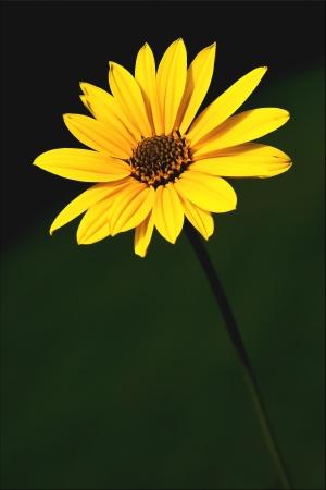 senecio:  yellow flower buphtalmum salicifolium composite inuloides inula  salicina senecio eurucifolius jacobaea erraticus delphinifolius Stock Photo