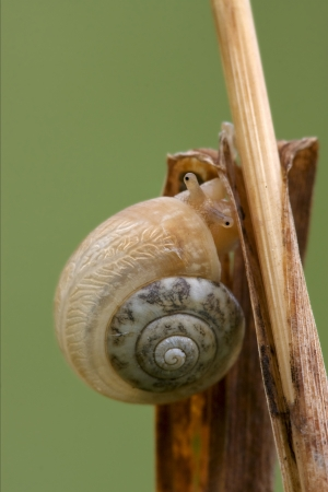 gastropoda: side and head of wild brown snail gastropoda  phyla minori on a green leaf  in the bush