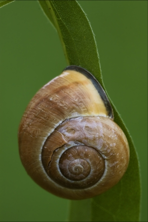 gastropoda: side of wild brown snail gastropoda  phyla minori on a green leaf  in the bush