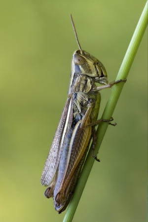 brown  grasshopper chorthippus brunneus in a green sprig Stock Photo - 17995425