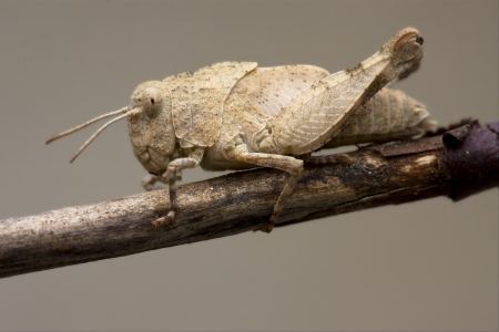 brown  grasshopper Orthopterous in a brown sprig Stock Photo - 17995405