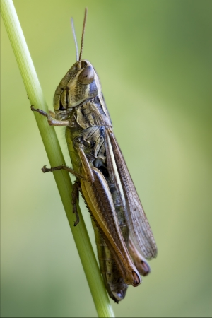 acrididae: brown  grasshopper chorthippus brunneus in a green sprig  Stock Photo