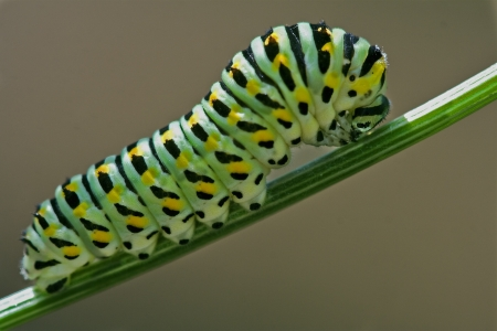wild caterpillar of Papilio Macaone  on a green fennel branch 写真素材