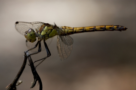 imperator: side of wild  yellow black dragonfly on a wood branch  in the bush