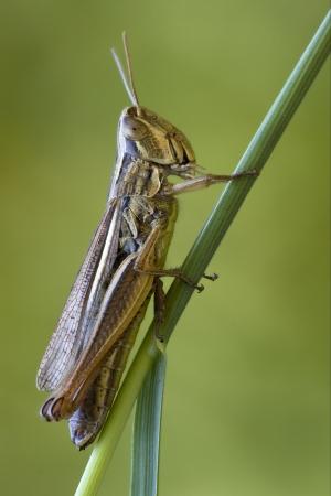 brown  grasshopper chorthippus brunneus in a green sprig Stock Photo - 18273169