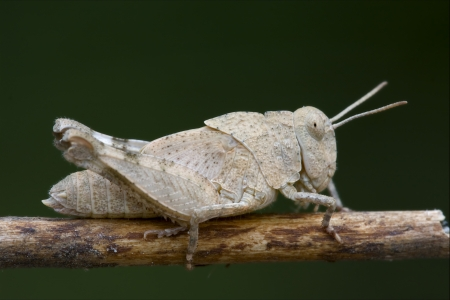 brown  grasshopper Orthopterous in a brown sprig Stock Photo - 18272815