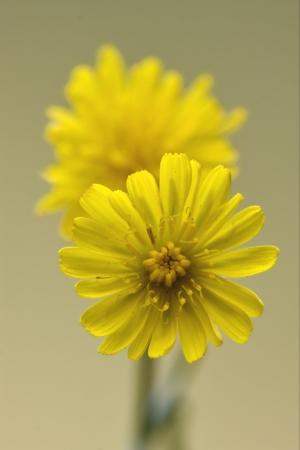 yellow flower  hypochoeris radicata hypochoeris glabra hypochoeris achyrophorus  reicgardia picroides picridium vulgare  picridium tingitana crepis sancta crepis bursiflora hieracium pilosella  hieracium sylvaticum picris hieracioides  Imagens