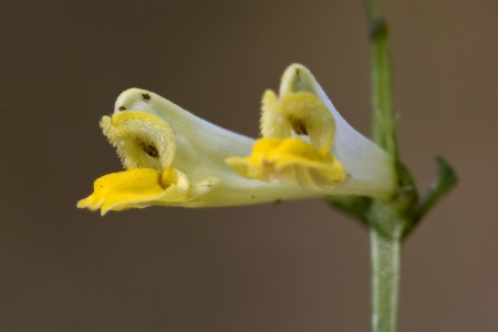 falcata: yellow flower medicago falcata leguminose Stock Photo