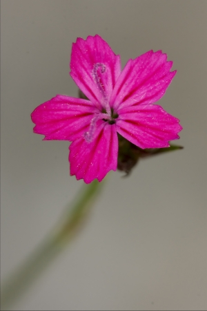 arvensis: macro close of  a violet pink geranium dissectum cariofillacee in green background