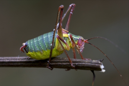 acrididae: close up of grasshopper Orthopterous Tettigoniidae on a piece of branch in the bush
