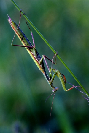 mantodea  close up of wild side of praying mantis on a green brown branch in the bush photo