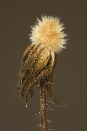 macro close up of a yellow white taraxacum officinale in brown background  photo