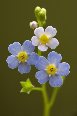 macro close up of a blue yellow anagallis foemina background