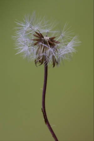 macro close up of a yellow white taraxacum officinale in background   photo