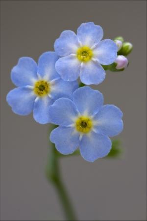 usitatissimum: macro close up of a blue yellow anagallis foemina  background  Stock Photo