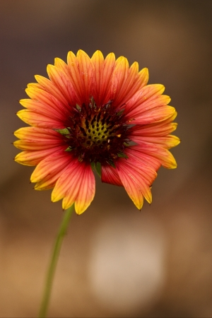 macro close up of a yellow red daisy brown background in bahamas photo