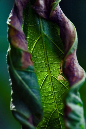 torsion: abstract flowering of a leaf  torsion  in the spring