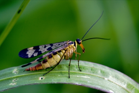 side of wild fly Mecoptera Scorpion Fly Panorpa Panorpidae on a green branch  photo