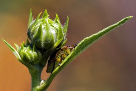 side of wild fly hemiptera Nezara Virdula Heteroptera pentatomidae palomena prasina on a flower Stock Photo - 18538850