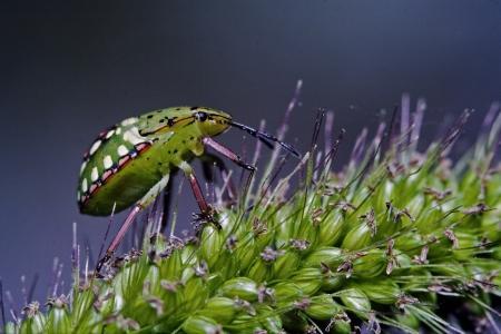 palomena: side of wild  hemiptera fly Nezara Virdula Heteroptera pentatomidae palomena prasina on a flower
