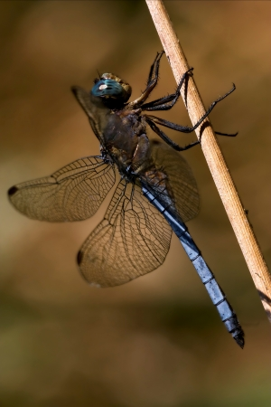 libellulidae: wild blue dragonfly brachytron pratense on a piece of branch in the bush