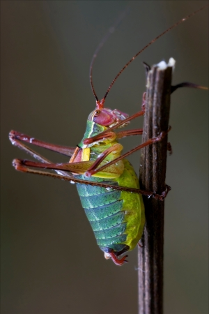 close up of grasshopper Orthopterous Tettigoniidae on a piece of branch in the bush photo