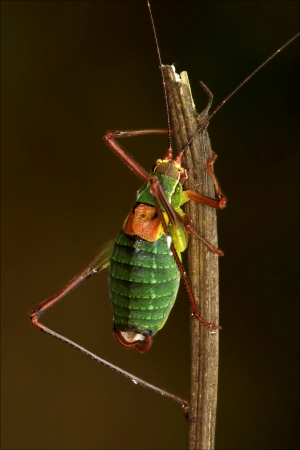 close up of grasshopper Orthopterous Tettigoniidae on a piece of branch in the bush Stock Photo - 18668069