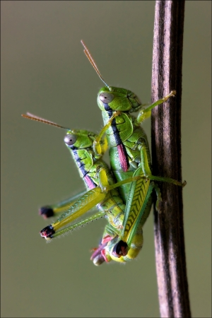close up of two grasshopper Orthopterous having sex on a piece of branch in the bush Stock Photo - 18668341