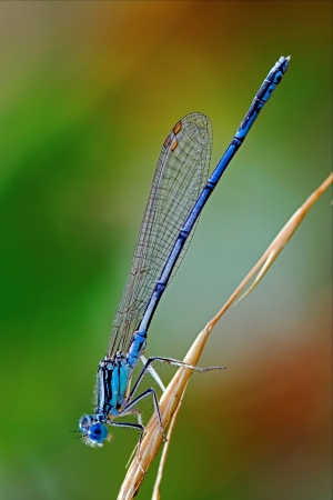 a little blue Coenagrionidae dragonfly Stock Photo
