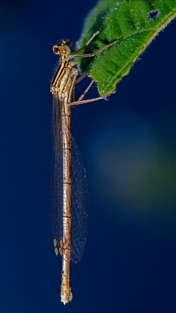 libellulidae: wild brown dragonfly coenagrion puella  on a piece of leaf  in the bush and sky