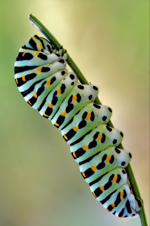 a Papilionidae in a green tree of wild fennel 写真素材