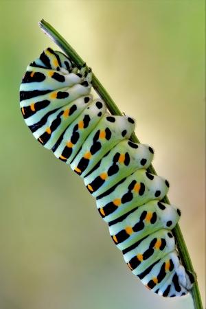 a Papilionidae in a green tree of wild fennel Standard-Bild