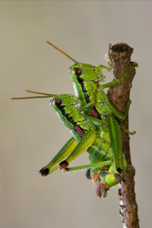 close up of two grasshopper Orthopterous having sex on a piece of branch in the bush Stock Photo - 18668112