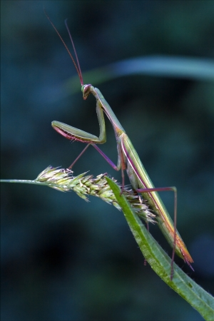 mantodea: mantodea  close up of wild side of praying mantis on a green brown branch in the flowering bush