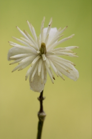 macro close of  a yellow white leguminose  in green background Stock Photo - 18667803