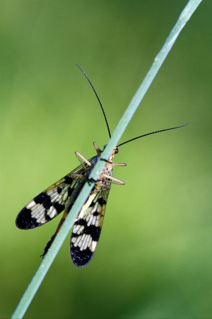 front of wild fly Mecoptera Scorpion Fly Panorpa Panorpidae on a green branch photo