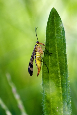 side of wild fly Mecoptera Scorpion Fly Panorpa Panorpidae on a green leaf photo