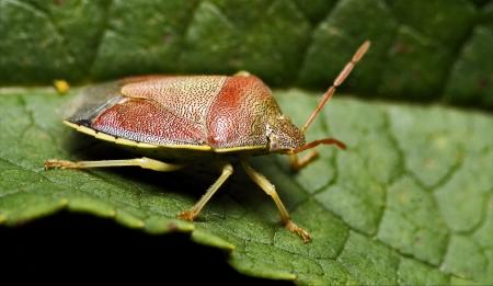 palomena prasina: side of wild fly hemiptera Nezara Virdula Heteroptera pentatomidae palomena prasina