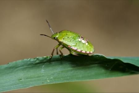side of wild fly hemiptera Nezara Virdula Heteroptera pentatomidae palomena prasina on a green leaf   photo