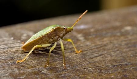 palomena prasina: side of wild fly hemiptera Nezara Virdula Heteroptera pentatomidae palomena prasina on a wood