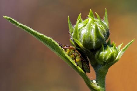 palomena: side of wild fly hemiptera Nezara Virdula Heteroptera pentatomidae palomena prasina on a flower  Stock Photo
