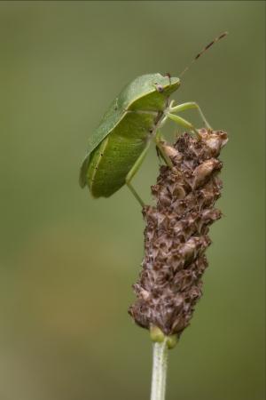 prasina: side of wild fly hemiptera Nezara Virdula Heteroptera pentatomidae palomena prasina on a flower  Stock Photo
