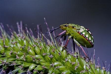 side of wild  hemiptera fly Nezara Virdula Heteroptera pentatomidae palomena prasina on a flower photo