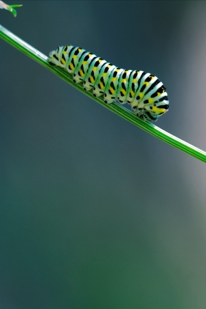 macaone: wild caterpillar of Papilio Macaone  on a green fennel branch Stock Photo