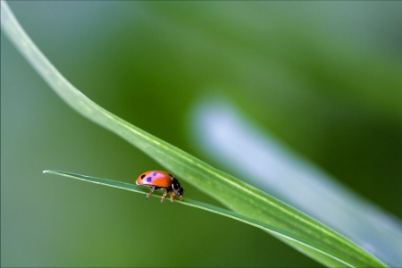 coleoptera: the side of  wild red ladybug coccinellidae anatis ocellata coleoptera on a grass