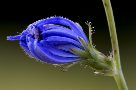 close up of a blue composite  cichorium intybus pumilium flower photo