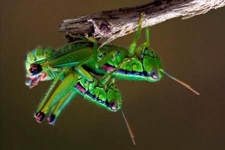 close up of two grasshopper having sex Stock Photo - 18727615